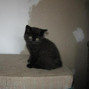 Британский котенок окрас черный тэбби