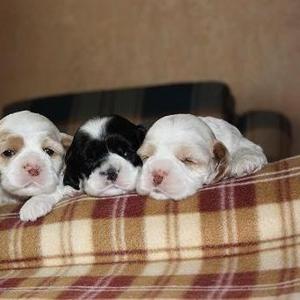 Продам щенков американского кокер спаниеля